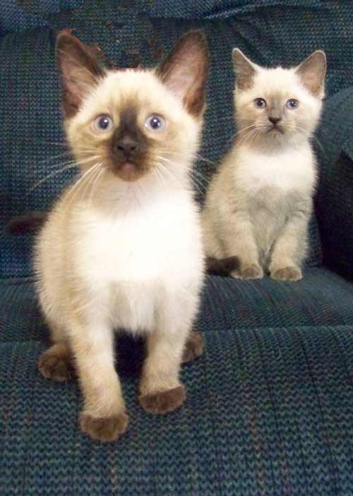 Siamese Kitten Color